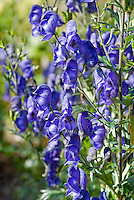 Poisonous plant Monkshood Aconitum 'Newry Blue'