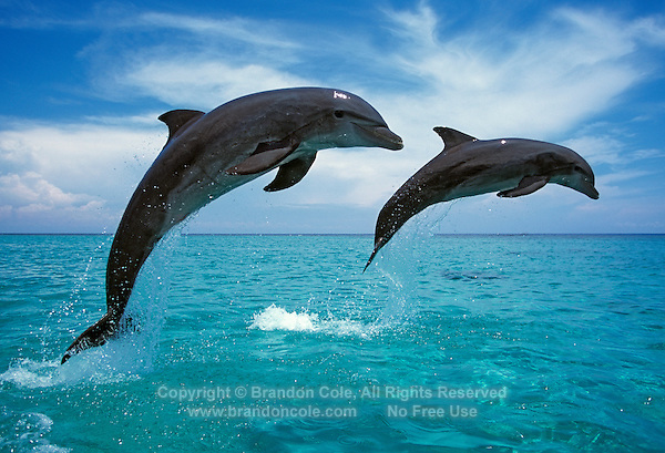 my715. Bottlenose Dolphins (Tursiops trucatus) leaping. Honduras, Caribbean Sea..Photo Copyright © Brandon Cole. All rights reserved worldwide.  www.brandoncole.com