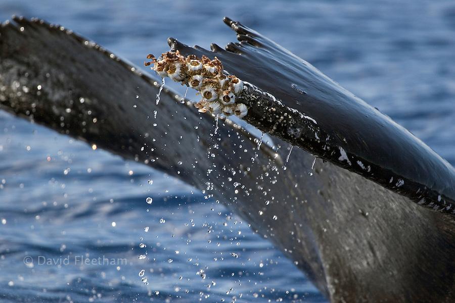Acorn barnacles, Coronula diaderma, and goose neck barnacles, Conchorderma auritum, attached to a humpback whale tail, Megaptera novaeangliae.  Hawaii.