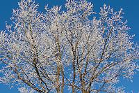 Winterwald, Wald im Winter bei Schnee und Reif, Laubwald, Blick in den Wipfel, Baumwipfel, Baumkrone, forest in winter with snow and frost