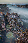 Sea Anemone on coastal rocks and waves at  low tide, near Pigeon Point,  San Mateo County coast, California