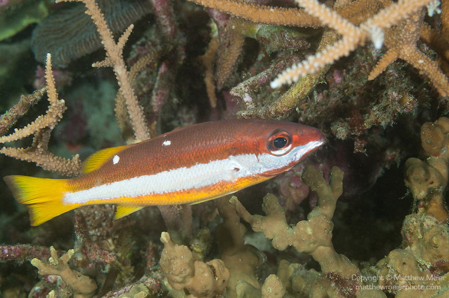 Nemo Thila, Maarehaa Island, Huvadhoo Atoll, Maldives; a Two-spot Snapper (Lutjanus biguttatus) swimming amongst staghorn corals at night