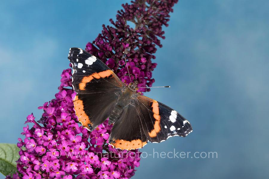 Admiral, Blütenbesuch an Schmetterlingsflieder, Buddleja, Sommerflieder, Vanessa atalanta, Pyrameis atalanta, red admiral, Le Vulcain