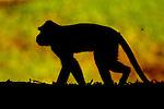 Long-tailed Macaque (Macaca fascicularis) male, Tawau Hills Park, Sabah, Borneo, Malaysia