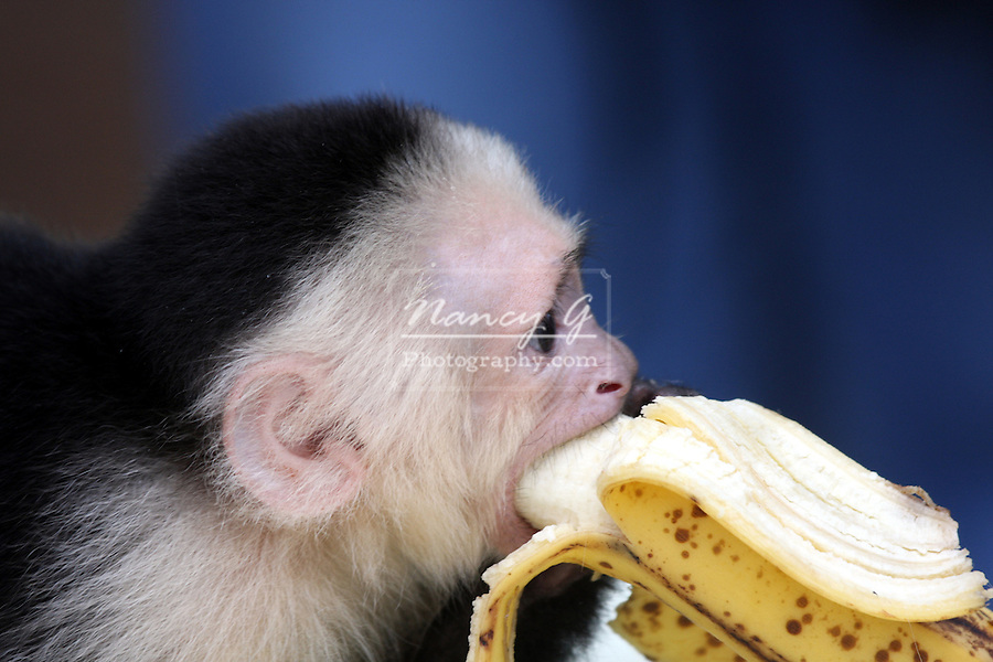 A little capuchinn monkey eating a banana at the DeYoung Family Zoo Michigan