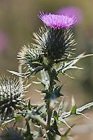 Europe/France/Aquitaine/64/Pyrénées-Atlantiques/Pays-Basque/Iraty: flore au Col d'orgambideska - chardon