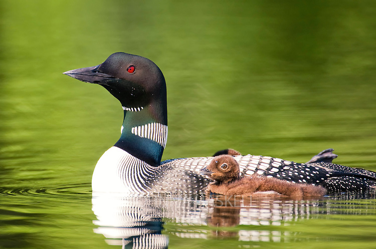 Loon with chicks showing green lake light on small pond.
