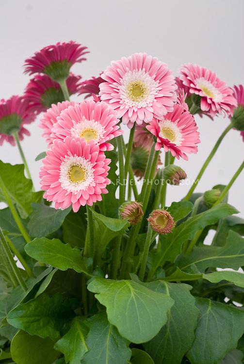 Gerbera Garvinia Sweet Memories aka' Garmemories', pink new variety daisy annual flowers