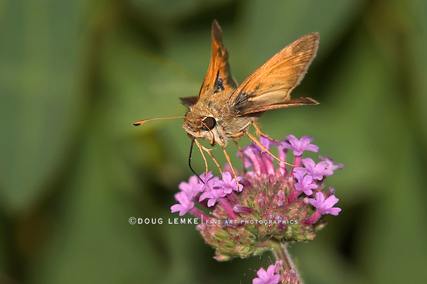 Tiny Butterfly, Skipper, Family Hesperiidae, Probably A Woodland Skipper, On Brazilian Verbena