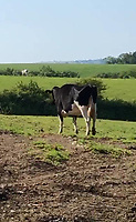 "Pictured: The cow that was stolen by David Aeron Owens.<br /> Re: Dyfed-Powys Police has become the first police force in the UK to use DNA evidence from a stolen cow in a criminal court case.<br /> The force used DNA from a £3,000 heifer, which had been retagged by a neighbouring farmer after escaping from a field, to prove it had been stolen.<br /> The blood samples were compared against cows on the victim's farm to prove a familial link and secure a conviction.<br /> David Aeron Owens, of Salem Road, St Clears, pleaded guilty to theft at Swansea Crown Court on Monday, February 3.<br /> PC Gareth Jones, officer in case, said: ""This has been a long and protracted enquiry, and it has taken a lot of work and patience to get to this point.<br /> ""Without the use of the heifer's DNA we would not have been able to prove that it had been stolen by Mr Owens, and that he had tried to alter identification tags to evade prosecution.<br /> ""We are proud to be the first force in the UK to use a cow's DNA in a criminal case, and will continue to use innovative methods to get justice for victims.""<br /> The investigation started in December 2017, when a farmer in St Clears reported the theft of one of his 300 cows which had escaped from his field four months earlier.<br /> Mr Owens had denied the missing animal was on his land, but the victim recognised it among the herd.<br /> PC Jones visited the farm and was handed a cow passport, listing ear tag numbers for the cow in question and the animal Mr Owens alleged was its mother.<br /> PC Jones applied for a warrant to seize the stolen cow, which was separated from the herd and had blood samples taken for DNA comparison."