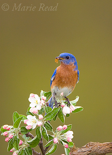 Eastern Bluebird (Sialia sialis), male holding mealworm in its bill, perched in apple blossom in spring, New York, USA