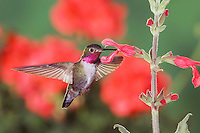 Broad-tailed Hummingbird, Selasphorus platycercus,male in flight feeding on Red Sage(Salvia sp.) ,Rocky Mountain National Park, Colorado, USA, June 2007