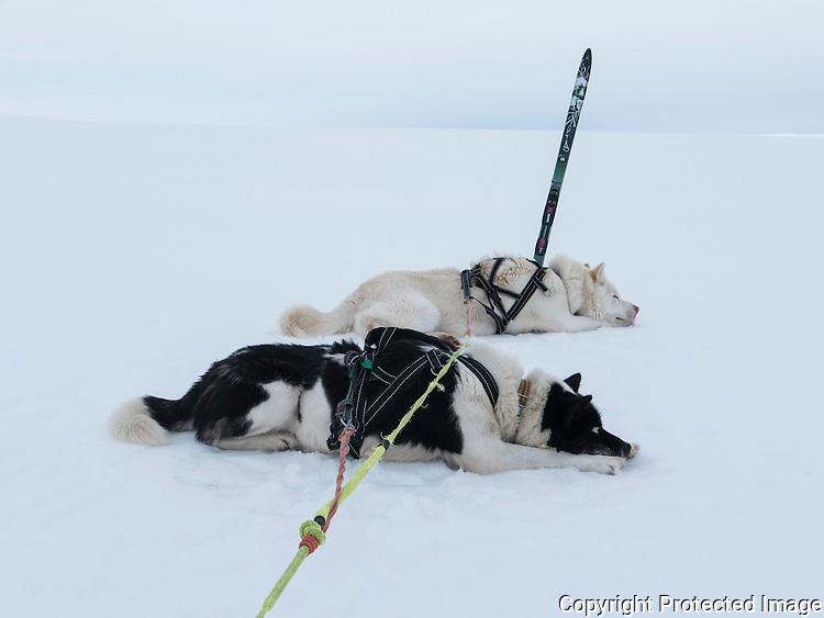 Grønlandshunder hviler i snøen. ---- Greenland dogs resting in snow.