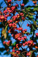 Europäisches Pfaffenhütchen, Früchte, Gewöhnlicher Spindelstrauch, Pfaffenkäppchen, Euonymus europaeus, common spindle, European spindle
