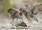 """Dancing for its food!<br /> <br /> This six week old owlet was so happy to see its dad return with food it danced with joy. The burrowing owl spotted its dad returning, following a hunt before the pair shared a 'kiss' which was the moment the adult fed the chick.<br /> <br /> The pair were spotted in Diessen, Holland by landscape architect Albert Beukhof, 44.   Albert from Arnhem, Holland said, """"The adult was feeding small pieces of mouse to the juvinille, but it looked like the pair were kissing.""""<br /> <br /> Please byline: Albert Beukhof/Solent News<br /> <br /> © Albert Beukhof/Solent News & Photo Agency<br /> UK +44 (0) 2380 458800"""