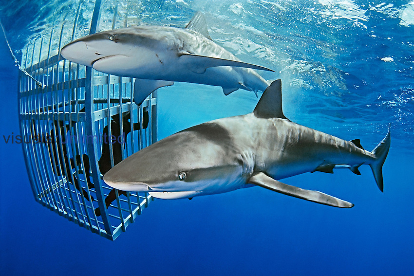 Divers in a protective cage observing Galapagos Sharks (Carcharhinus galapagensis), Hawaii, Pacific Ocean.