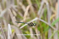 06544-00320 Hine's Emerald dragonfly (Somatochlora hineana) male in flight patrolling in Barton Fen, Reynolds Co., MO