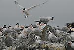 Elegant terns at Moss Landing