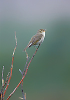 Artic Warbler singing in Denali National Park, Alaska