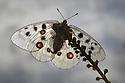 Apollo butterfly (Parnassius apollo) Nordtirol, Austrian Alps, Austria, July.