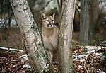 Cougar or mountain lion, Montana