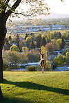 A whitetail doe looks out over the valley in Missoula, Montana