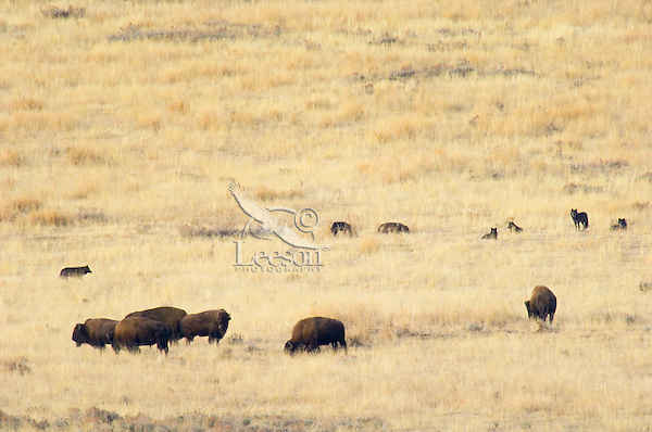 Wild Gray Wolves (Canis lupus) checking out herd of bison.  Yellowstone National Park, Wy,  Fall.