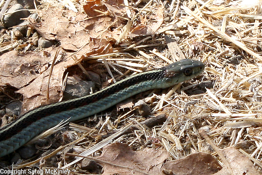 A close-up view of a gartersnake sunning itself among dry leaves along Reynold's Highway outside of Willits in Mendocino County in Northern California.