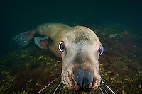 Curious Stellers Sea Lion (Eumetpias jubatus) underwater in the Strait of Georgia off Vancouver Island, British Columbia, Canada.