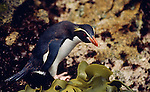 Snares crested penguin, Snares Island, New Zealand