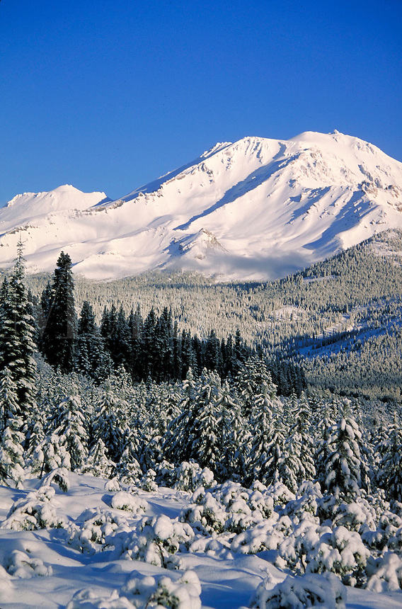 snow covered Mt. Shasta winter scenic with pine trees in foreground. California, Shasta-Trinity National Forest.