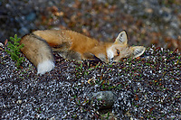 Red Fox (Vulpes vulpes) resting in the Liard River Valley near the Yukon/British Columbia border.  Sept.