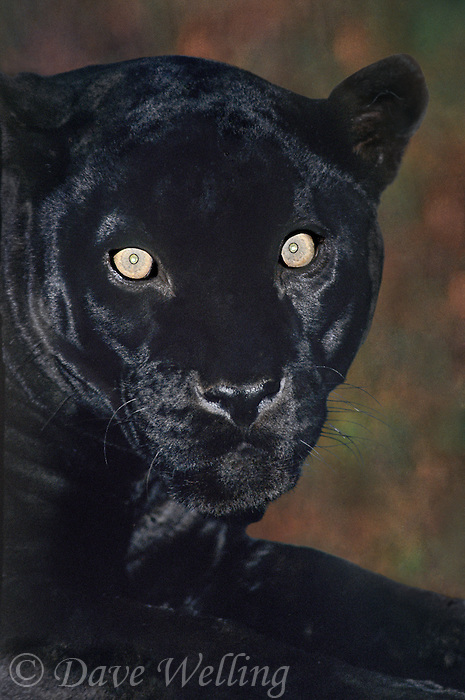 650359034 portrait of a wildlife rescue jaguar panthera onca at a wildlife rescue facility -species is highly endangered in its wild habitat in mexico central and south america -