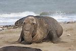Elephant seal bull moving