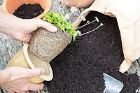 Gänseblümchen wird umgepflanzt, Umpflanzen, Topf, Wurzelballen, Umtopfen, Blumentopf, Maßliebchen, Bellis perennis, English Daisy, flower pot, garden pottery, plant pot, Pâquerette