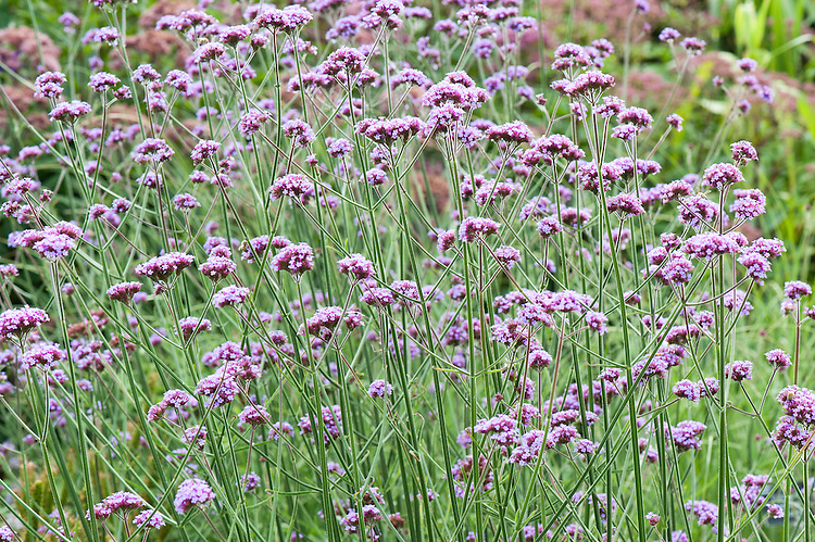 Verbena bonariensis, early August.