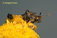 AM01-661z  Ambush Bug, male on tansey flowers, Phymata americana