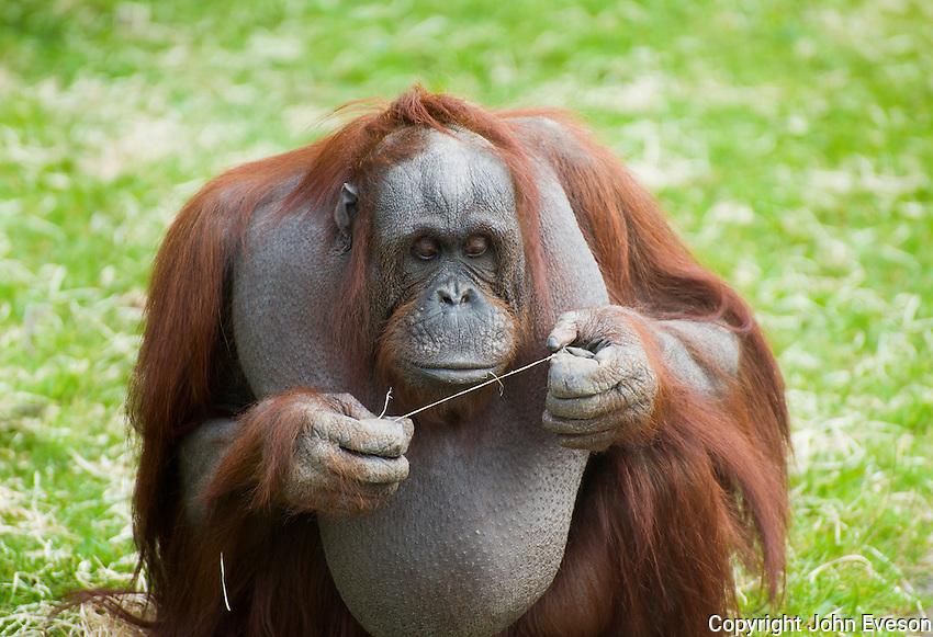 Female Bornean Orangutan (Pongo pygmaeus) at Blackpool Zoo, Lancashire.