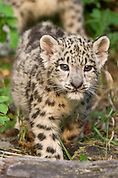 Snow Leopard kitten walking - CA
