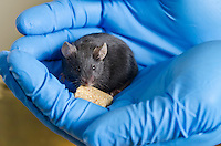 Mouse used in diabetes study conducted by Dr. Trey Howell