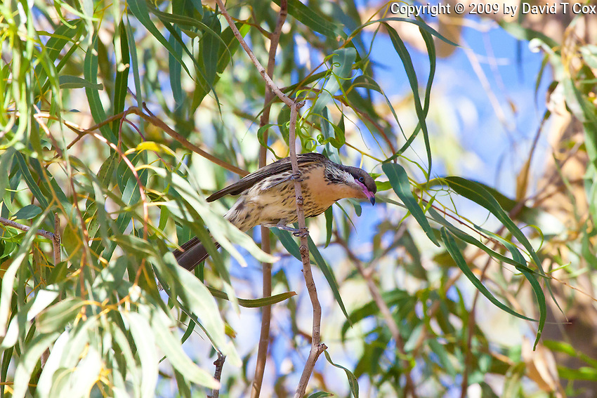 Spiny-Cheeked Honeyeater, Ti Tree camp, NT Outback, Australia