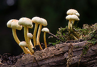 Sulphur Tuft fungi, (hypholoma fasciculare), Chipping, Lancashire.