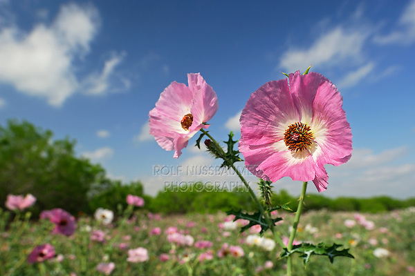 Rose Prickly Poppy (Argemone sanguinea), blossoms in wildflower field, Laredo, Webb County, South Texas, USA