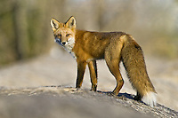 Red Fox standing on top of a hay bale