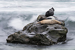 La Jolla Children's Pool, La Jolla, California; several Harbor Seals (Phoca vitulina) resting on a rock while waves crash around them on an overcast afternoon