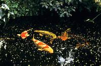 Koi-Karpfen, Koi, Koikarpfen, Nishikigoi, Farbkarpfen, Zierkarpfen, in einem Gartenteich, Koiteich, Zuchtform des Karpfens, Cyprinus carpio, Koi