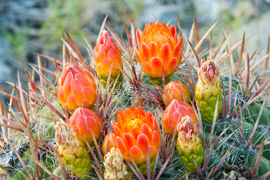 Ferocactus pilosus, Mexican Lime Cactus, Viznaga de Lima