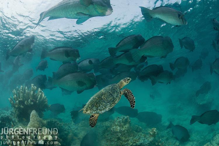 Huge schooling bumphead parrotfish (Bolbometopon muricatum) with a passing hawksbill turtle (Eretmochelys imbricata) Sipadan Island, Sabah, Malaysia. 22 June 2009