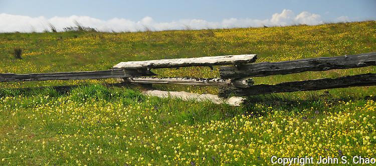 Yellow wildflowers around split wood rail fence, American Camp, San Juan Island National Historical Park, San Juan Island, Washington State.