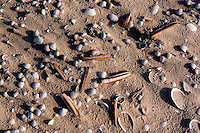 Common cockle, Cerastoma edule and razor clam shells, Ensis americanus on sandy beach<br /> Japsand, Wattenmeer, Wadden See National park, Unesco World Heritage Site, Germany